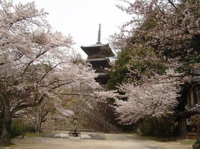 【桜・見ごろ】安来 清水寺