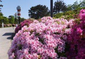【花・見ごろ】ときわ公園のツツジ