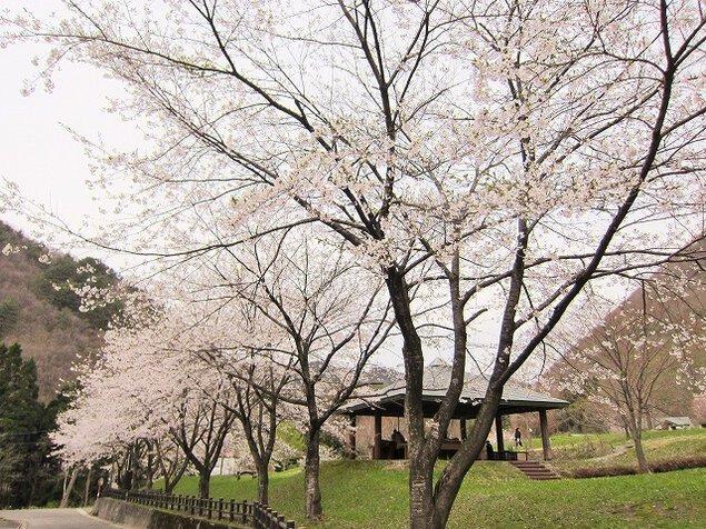 【桜・見ごろ】ベニヤマ自然パーク