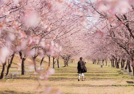 北浅羽桜堤公園の桜
