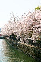 南天満公園の桜