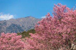 大山新道 おかめ桜