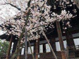 百萬遍知恩寺の桜
