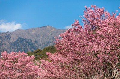 大山新道のおかめ桜