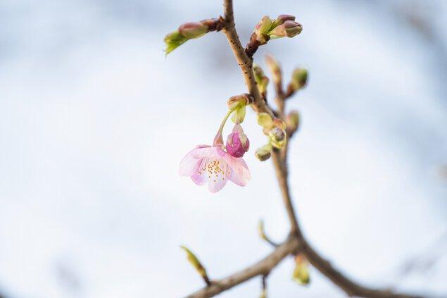 イクスピアリの河津桜