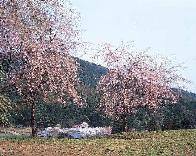 【桜・見ごろ】朝倉氏遺跡の糸桜