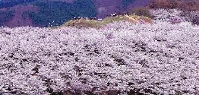【桜・見ごろ】弘法山古墳