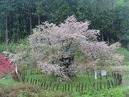 かすみ温泉(かすみ桜)