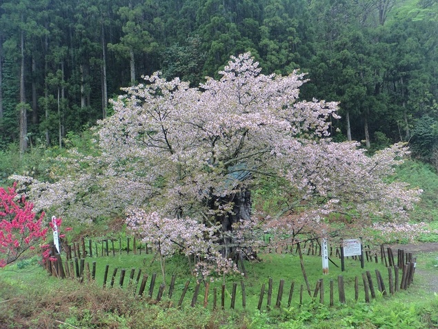 かすみ温泉のかすみ桜
