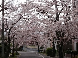 枚岡公園の桜