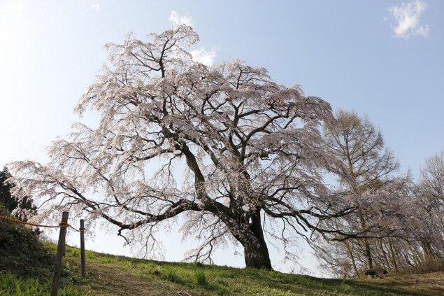 【桜・見ごろ】五斗蒔田桜
