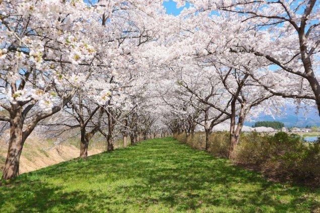 【桜・見ごろ】落合の桜並木