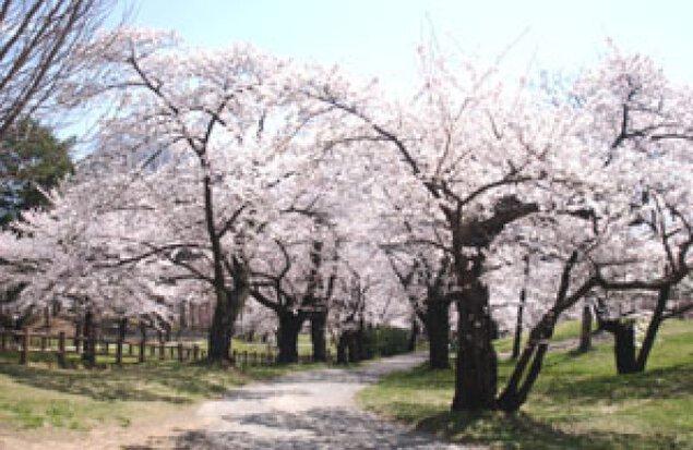 【桜・見ごろ】城山公園