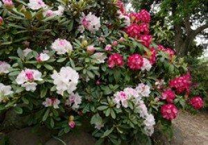 【花・見ごろ】ときわ公園のシャクナゲ