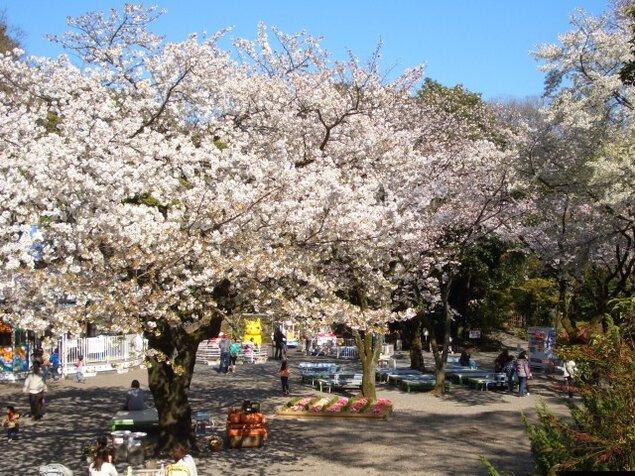 【桜・見ごろ】楽寿園