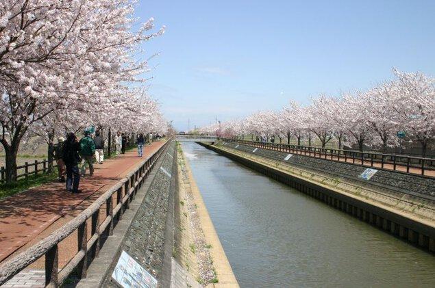 桜ネックレスの桜