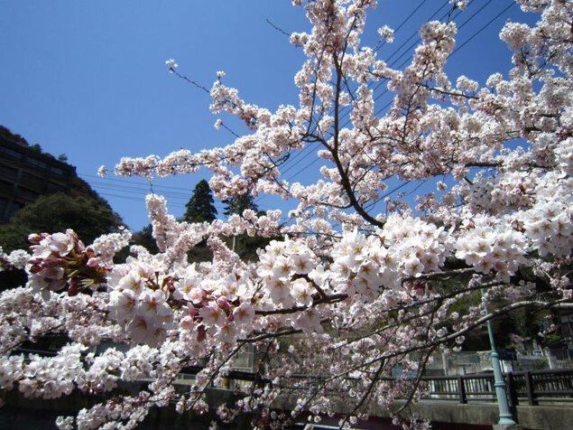 湯の山温泉の桜