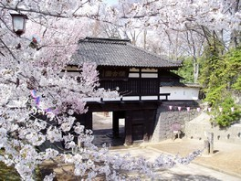 小諸城址 懐古園の桜