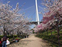 天保山公園の桜