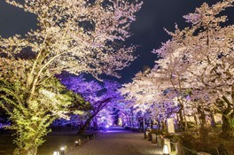 元離宮二条城の桜