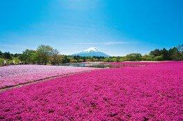 富士山と芝桜の鮮やかな色のコントラストが美しい