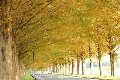 メタセコイア並木の紅葉