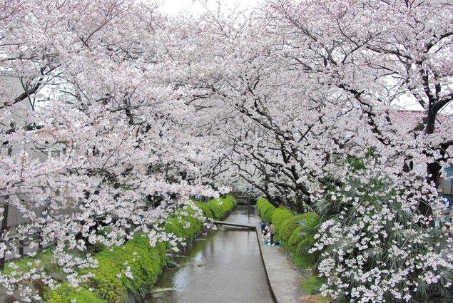 二ヶ領用水宿河原の桜