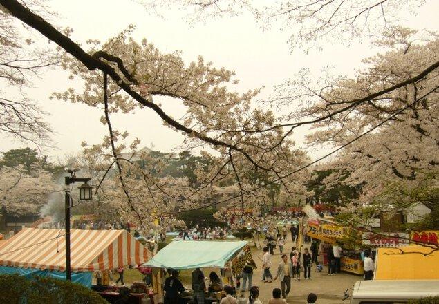 【桜・見ごろ】あきた千秋公園
