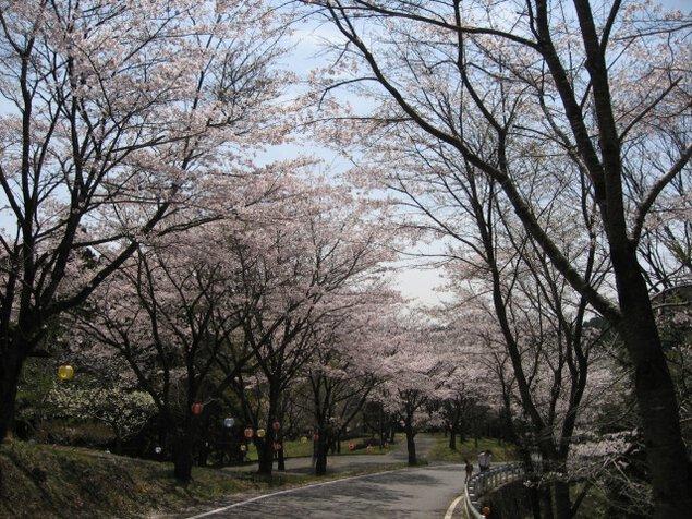 【桜・見ごろ】うぐいすの里