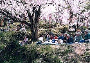 【桜・見ごろ】桜の広場