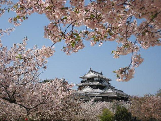 【桜・見ごろ】松山城