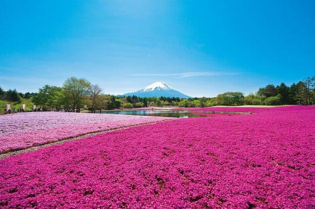 2019 富士芝桜まつり