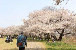 鳥屋野潟(鳥屋野潟公園女池・鐘木地区)の桜