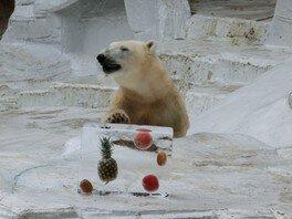 ホッキョクグマの「イッちゃん」に氷柱をプレゼント