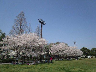 羽生水郷公園の桜