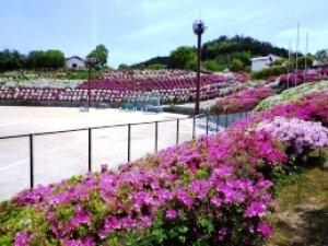 【花・見ごろ】雨山文化運動公園のツツジ