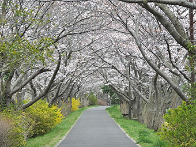 【桜・見ごろ】手賀沼公園、手賀沼遊歩道、手賀沼親水広場