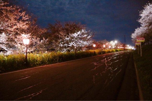 大河津分水桜並木 夜桜ライトアップ
