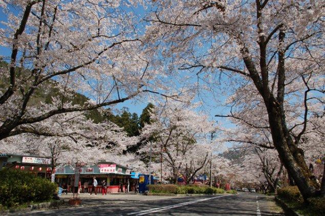 【桜・見ごろ】寺尾ケ原千本桜公園