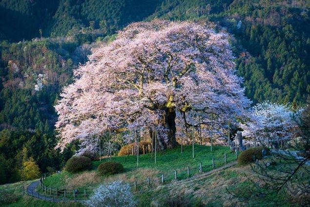 【桜・見ごろ】醍醐桜