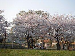 加須はなさき公園の桜