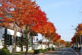 標茶中学校の並木道の紅葉