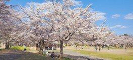 けいはんな記念公園(京都府立関西文化学術研究都市記念公園)の桜