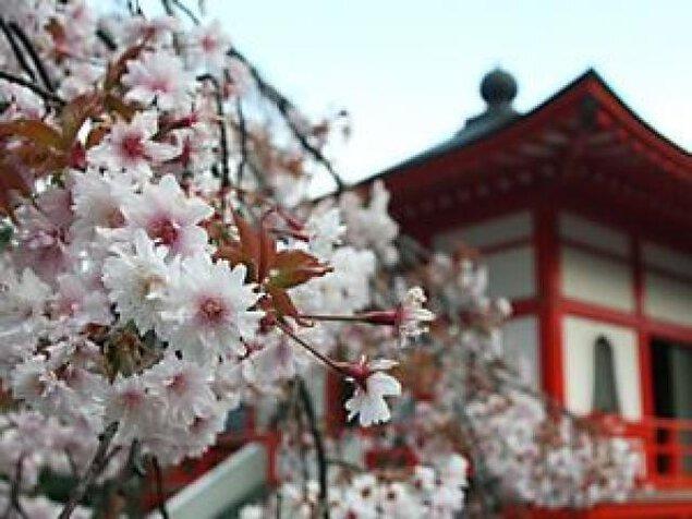 【桜・見ごろ】正福寺