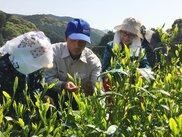 静岡茶発祥の地 足久保でお茶摘み手伝い<中止となりました>
