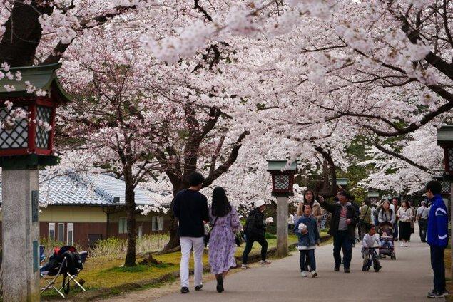 【桜・見ごろ】弥彦公園