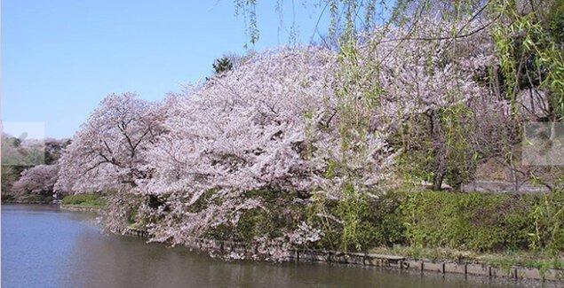 【桜・見ごろ】県立三ツ池公園