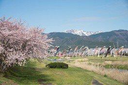 相川水辺公園の桜