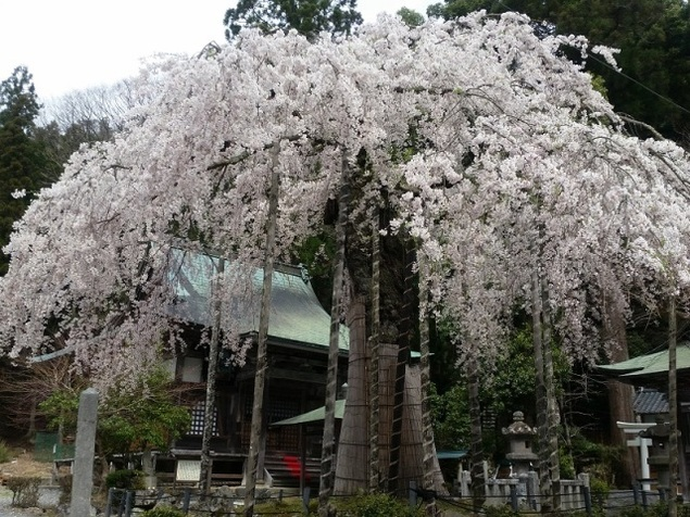 【桜・見ごろ】赤目延寿院しだれ桜