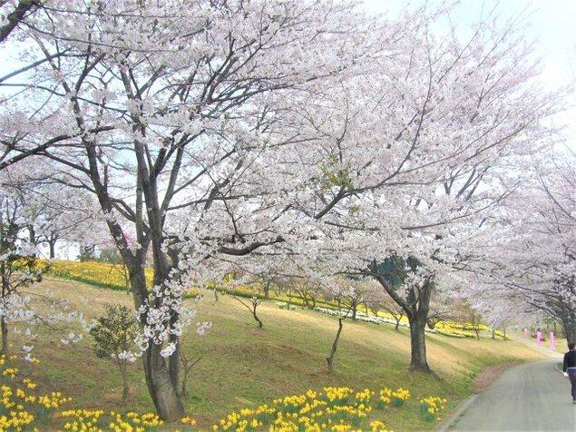 【桜・見ごろ】東那須野公園